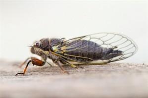 Cicada by Mary Faber