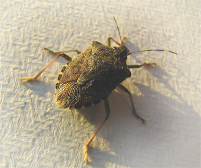 How To Get Rid Of Stink Bugs 10 Tips To Control Pests