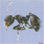 pest-guide-ants.png