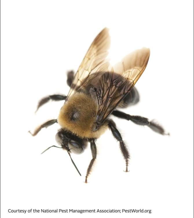 Carpenter Bee - Stinging Insects 101
