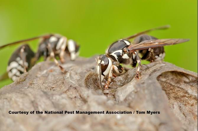 Bald Faced Hornet - Stinging Insects 101