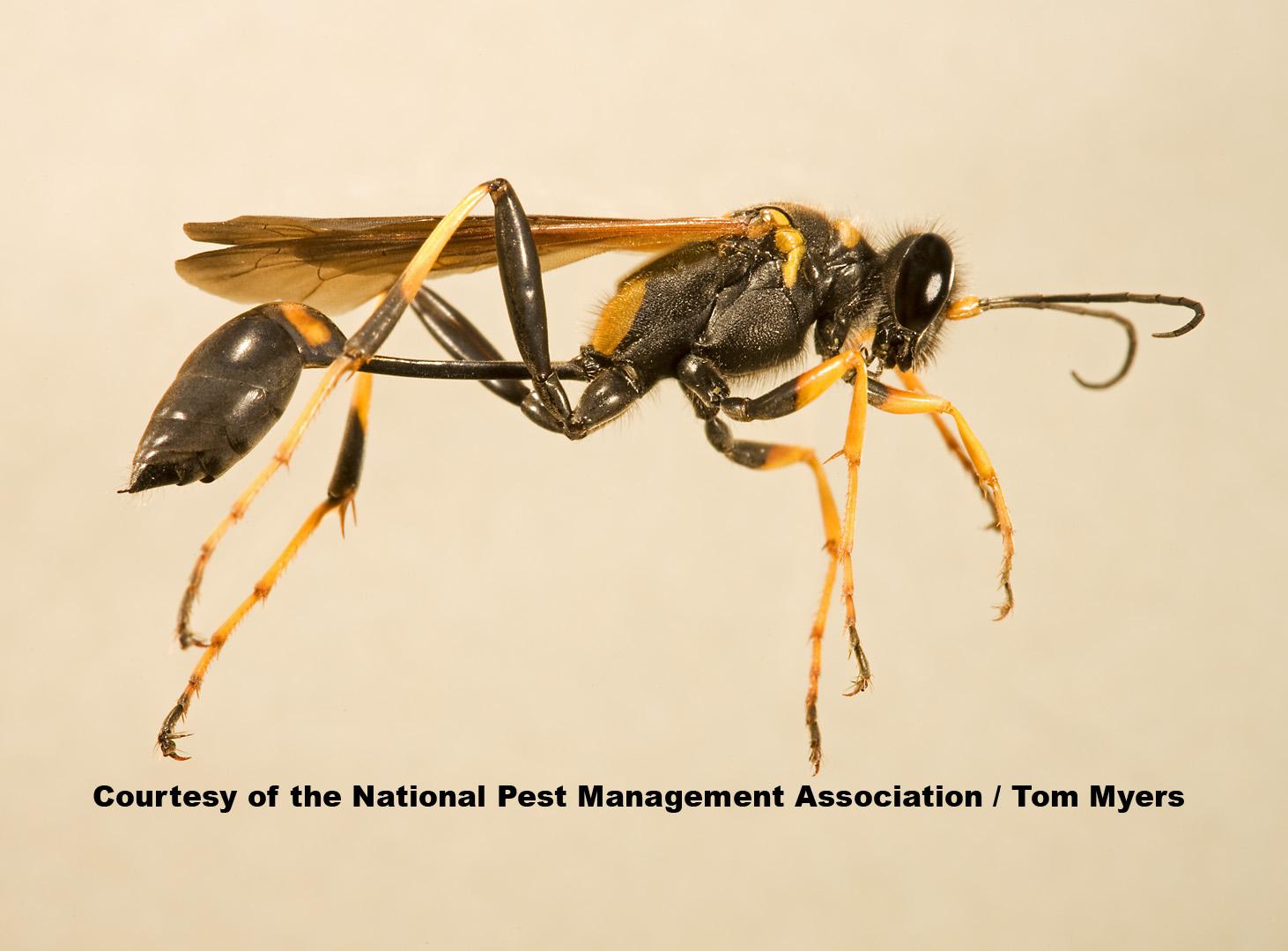 Wasp Stinging
