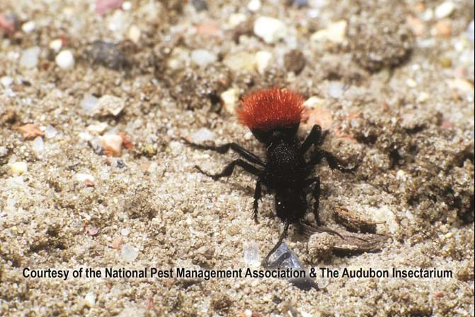 Velvet Ants - Stinging Insects 101