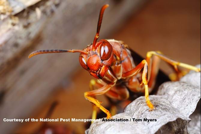 Paper Wasp - Stinging Insects 101