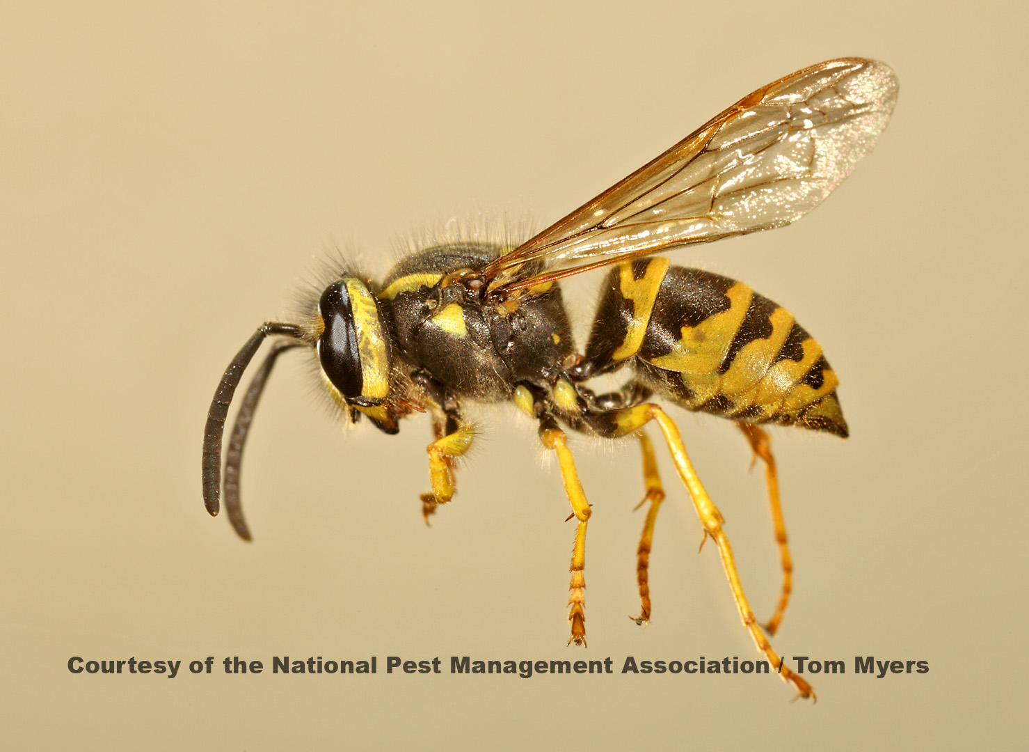 Black and yellow bee or wasp