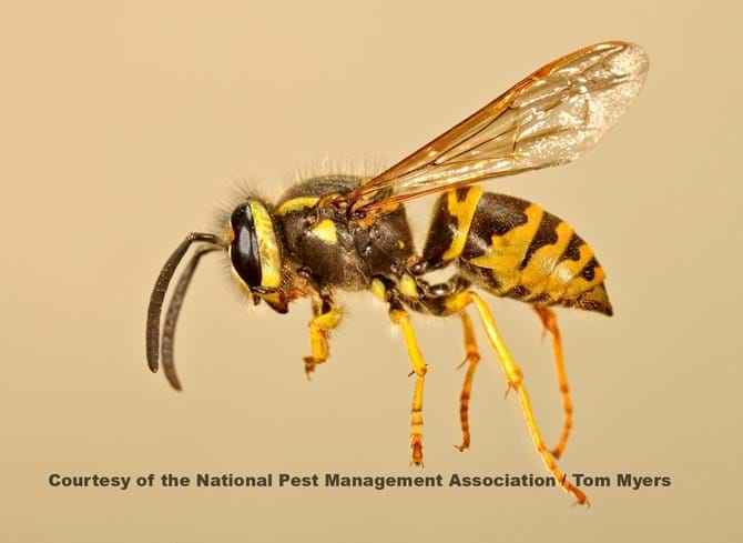 Yellowjacket - Stinging Insects 101