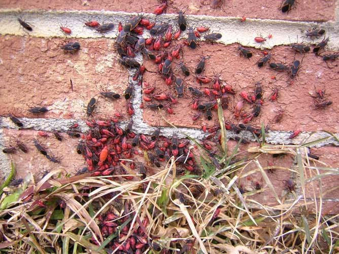 Boxelder Bugs 101 Overview Of What Attracts Boxelders