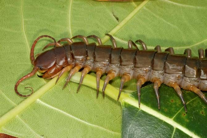Interesting Facts About House Centipedes