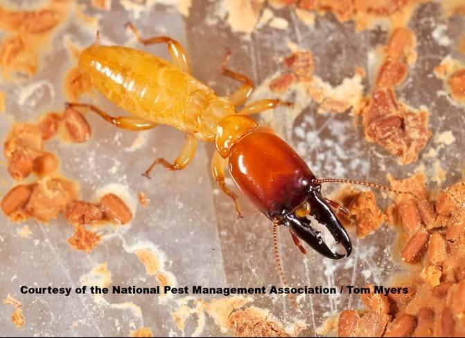 Dampwood termite