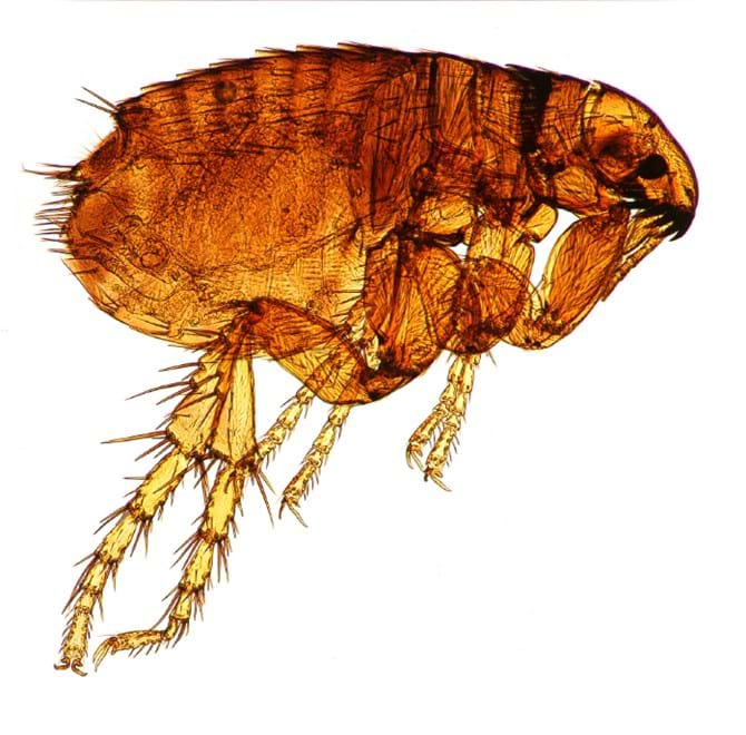 Microscopic Flea