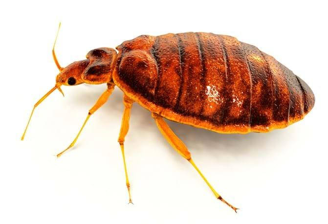 Bed Bug Macro