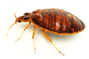 Where Do Bed Bugs Come From Identify Bed Bugs Info