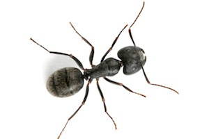 Yellow Citronella Ants How To Get Rid Of Yellow Ants