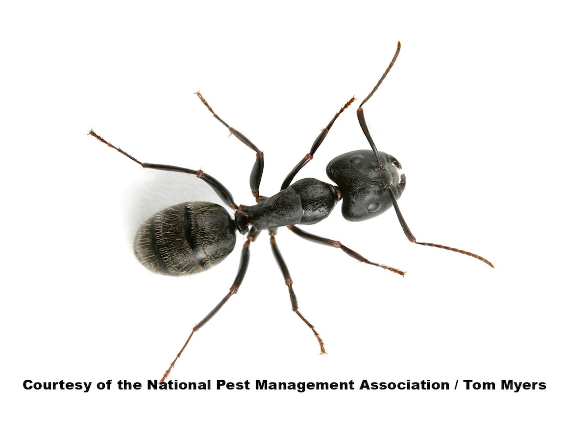 How to Get Rid of Summer Ants: Prevent Summertime Ants