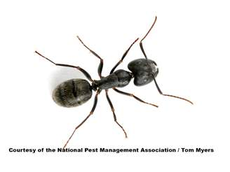 Carpenter Ants: How to Get Rid of Black Carpenter Ants
