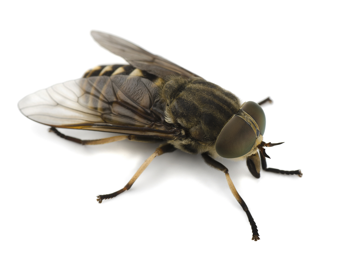 Pictures of horse flies