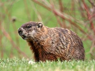 how to get rid of groundhogs woodchuck facts photos info