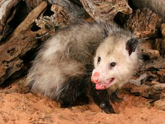 Opossum Facts: Removal & Control of Opossums - PestWorld