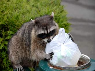 How To Get Rid Of Raccoons Raccoon Facts Photos Control