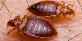 bed bug twin feeding.jpg
