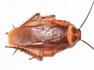 American Cockroaches Control Facts Information - Cockroach Us Map