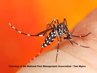 Asian tiger mosquito photographs