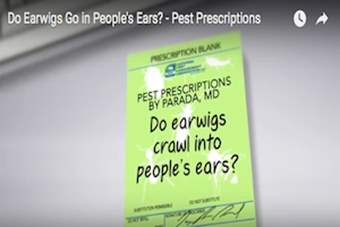 Pest Prescriptions - Do Earwigs Crawl Into People's Ears?.png