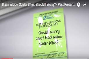 Pest Prescriptions - Should I Worry About Black Widow Spider Bites?.png
