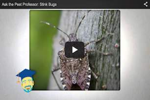 Do stink bugs smell bad?.png