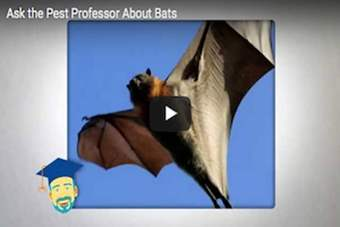 Can bats cause damage to homes?.png