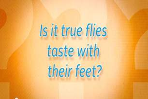 Do flies taste with their feet?.png