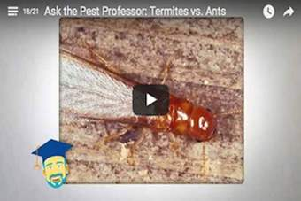 What's the difference between termites and flying ants?.png