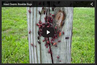 Insect Swarm – Boxelder Bugs.png