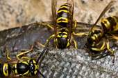 JORDAN Eastern yellowjackets eating fish together.jpg