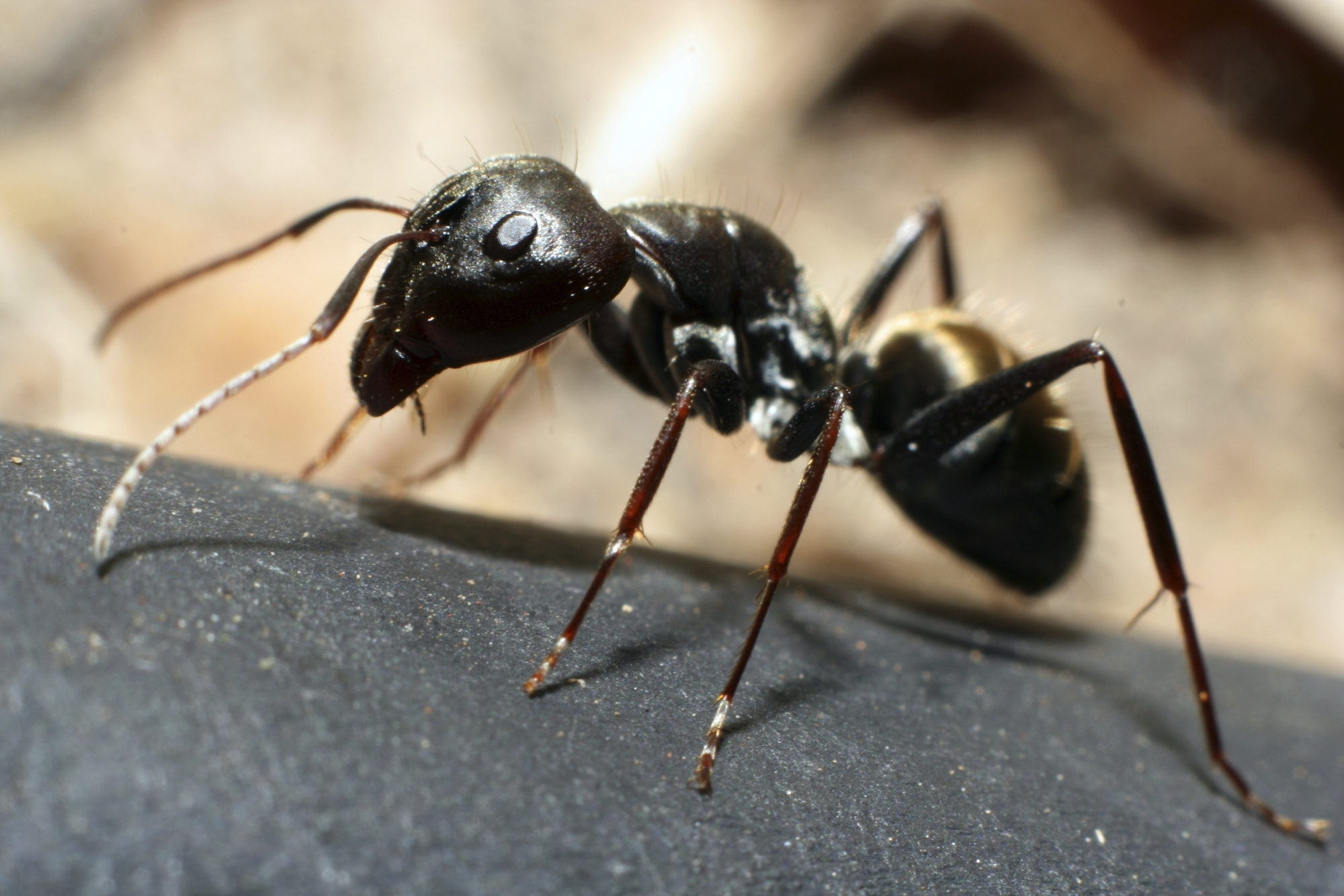 Information on Ants in houses: The Three Most Common Types ...