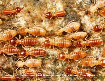Conehead Termites Southern CA