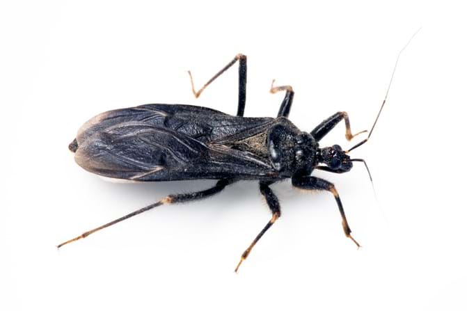 Kissing Bugs All About Kissing Bugs And Chagas Disease