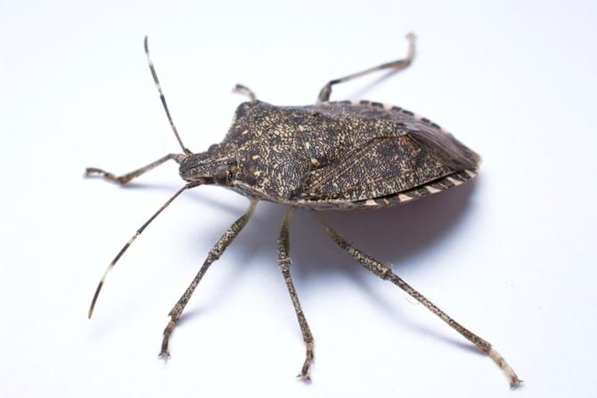 Stink Bugs 101: Brown Marmorated Stink Bug Facts