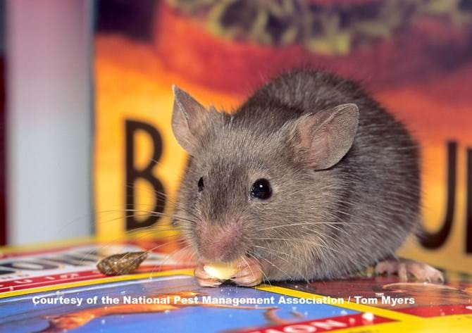 What Diseases Do Mice & Rodents Carry? Rodent Diseases