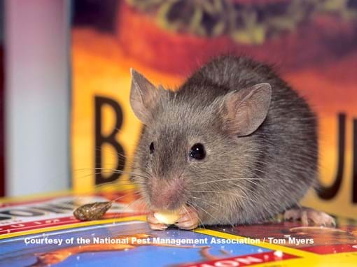 What Are House Mice House Mice Identification Control