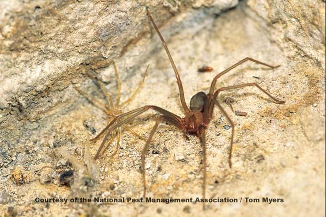 Picture of Brown Recluse Spider Bites  WebMD