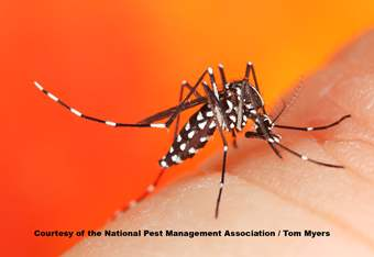 Asian Tiger Mosquito _MG_8957.jpg (1)