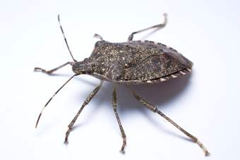 Stink bug from side.jpg