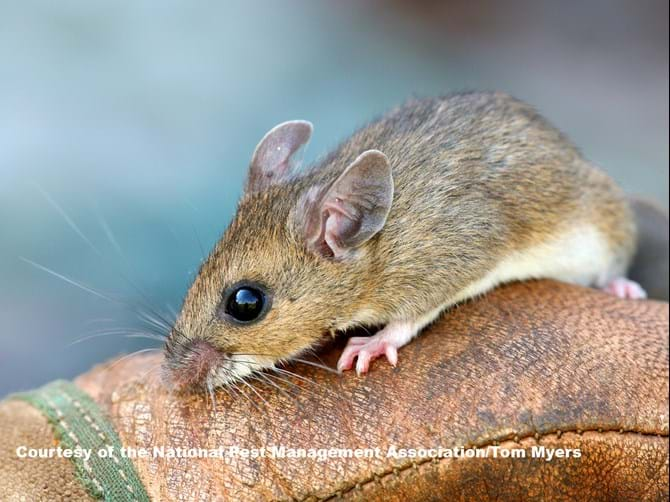 Rodents 101: Information On Different Types of Rodents