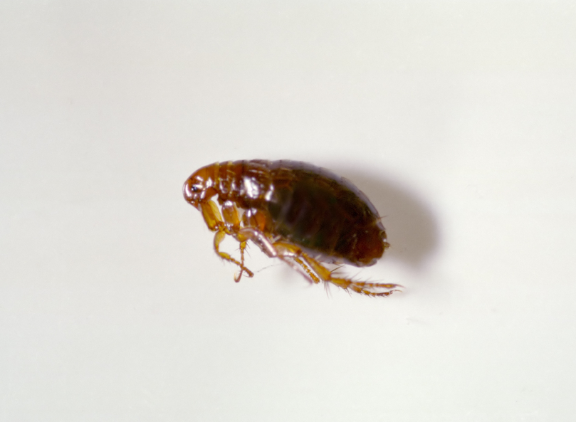 What does dog fleas look like