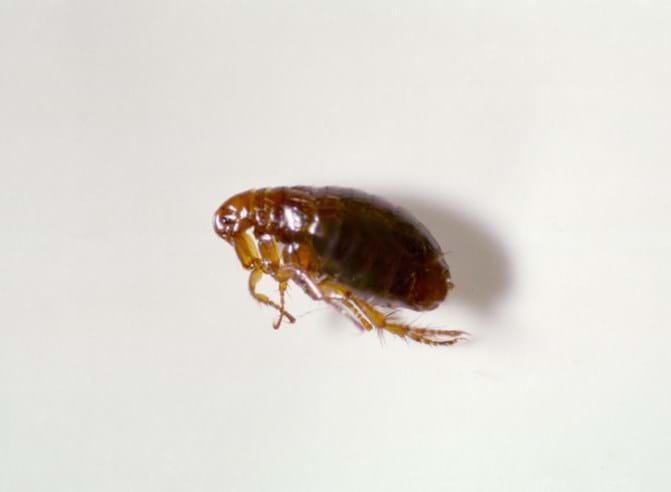 Image result for flea