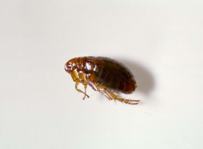 Information On Types Of Fleas Flea