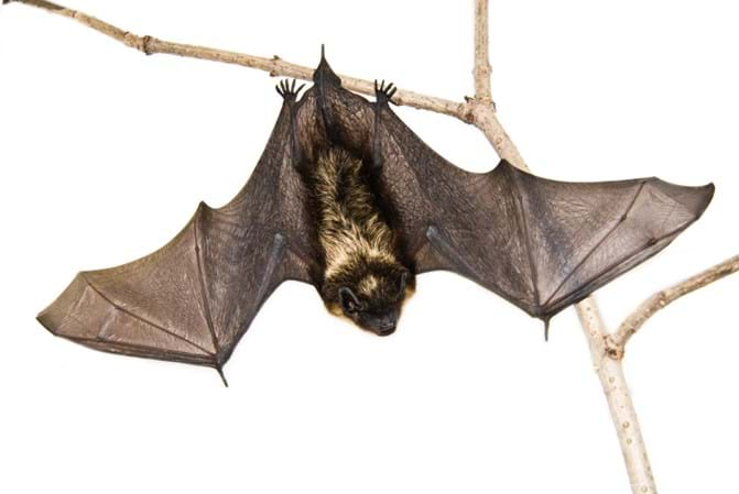 Nuisance Wildlife 101 Bats Opossums Raccoons And