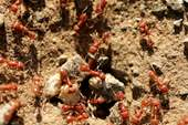 Red imported fire ants crawling in the dirt (1)