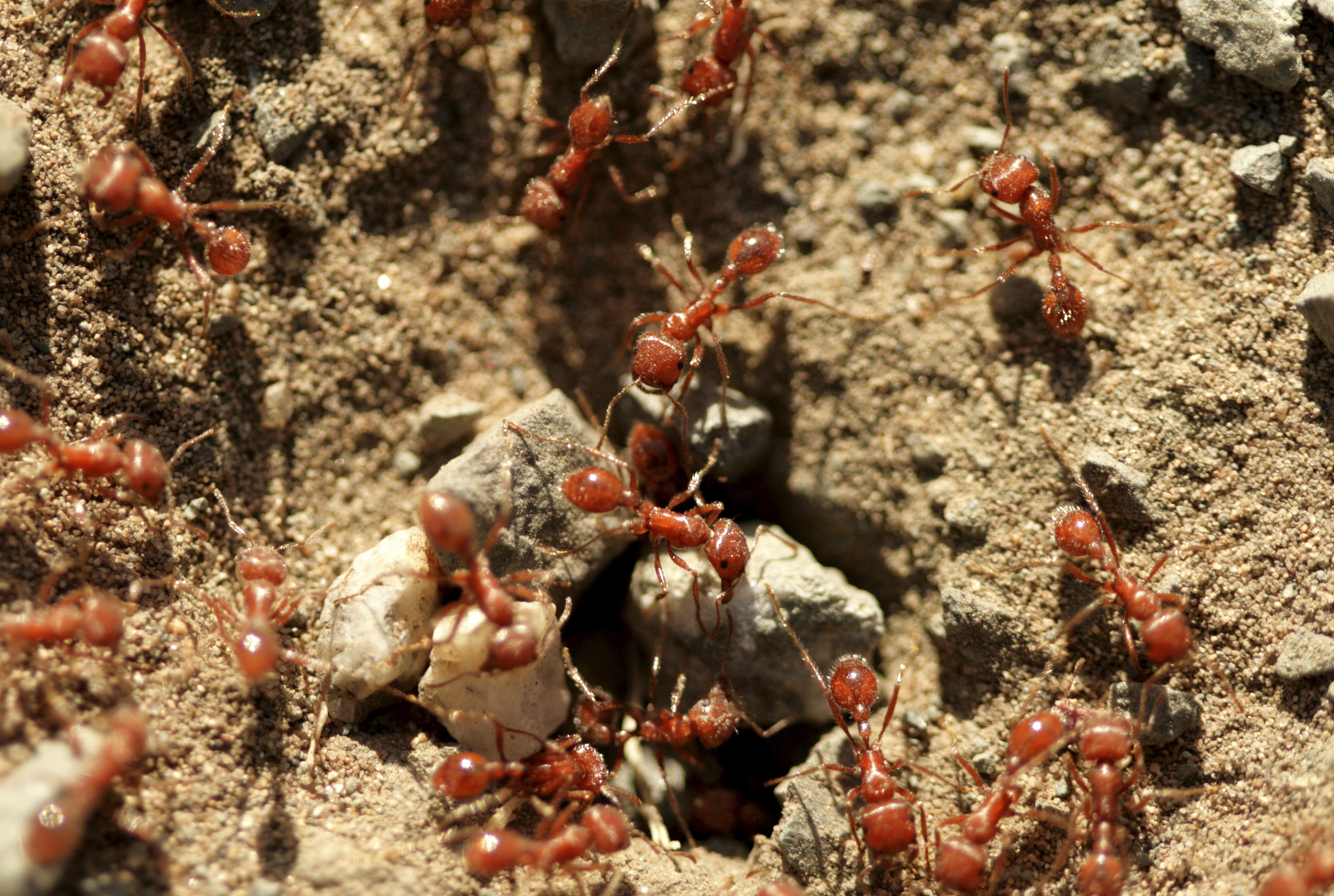 red imported fire ants an aggressive species of fire ants pestworld rh pestworld org fire at homebase liskeard fire at homebase